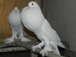 1347195104_437081969_11-Fancy-Pigeons-For-Sale-