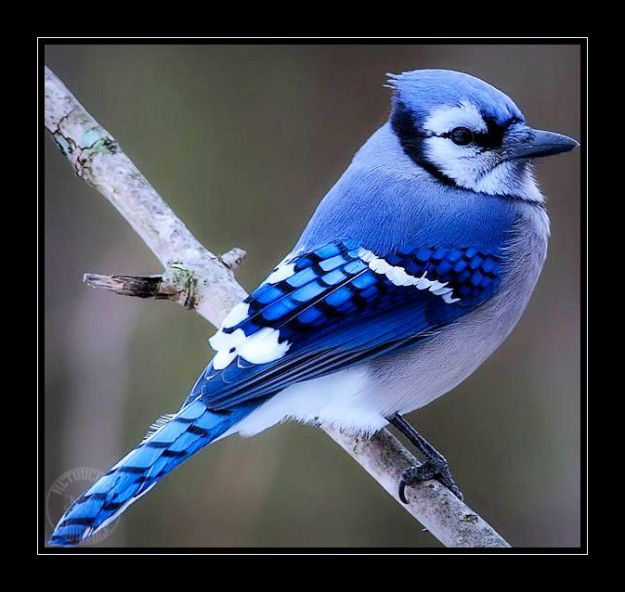 sorbello-bluejay5-4-06